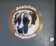 Anatolian Shepards